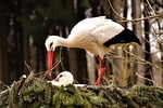 storks, pair, solicitous