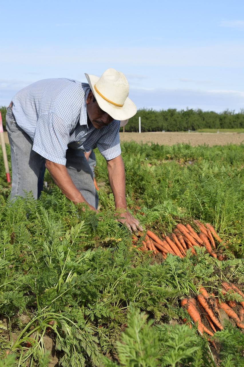 Фермерру выращивание моркови 67