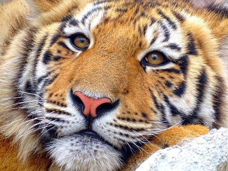 2000 Kostenlose Tiger Und Tier Bilder Pixabay
