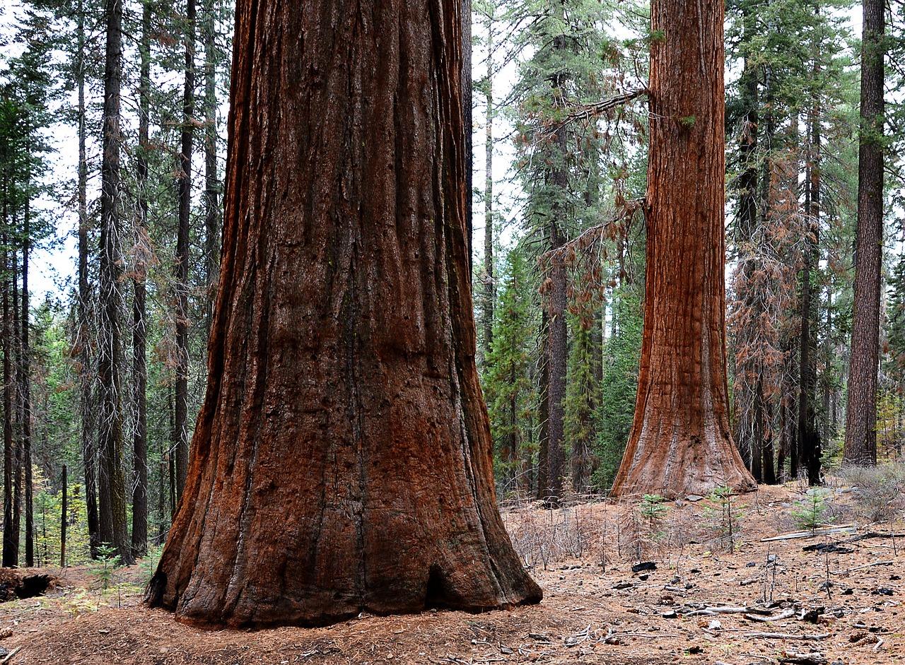 Картинка дерево секвойя