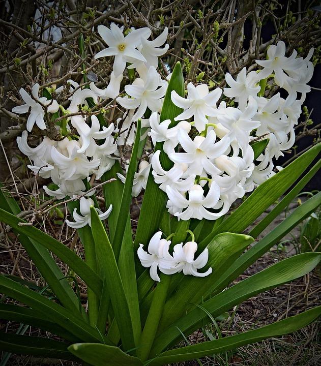 Pflanze Hyazinthe Blume Weiße · Kostenloses Foto auf Pixabay