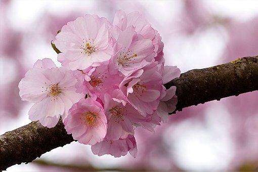 árbol De Cerezo Imágenes Pixabay Descarga Imágenes Gratis