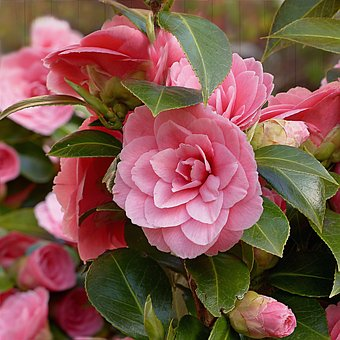 Camellia images pixabay download free pictures camellia flower pink spring camellia camel mightylinksfo