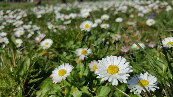Daisy, White, In The Grass, Plant