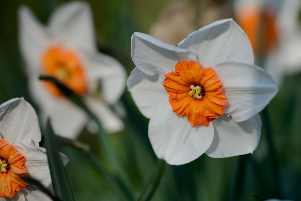 Нарцисс фото цветок
