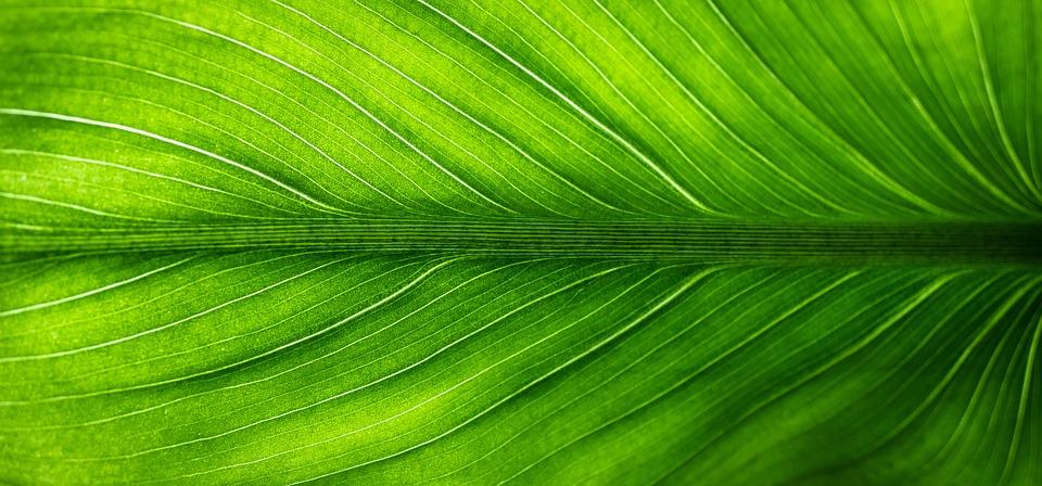 葉, 自然, 緑, 植物, 静脈, 半透明の