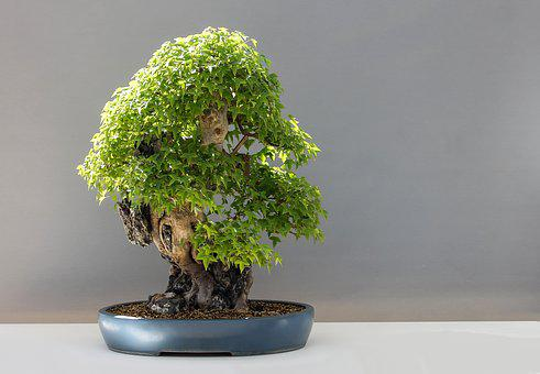 Bonsai, Maple Bonsai, Háromerű Maple