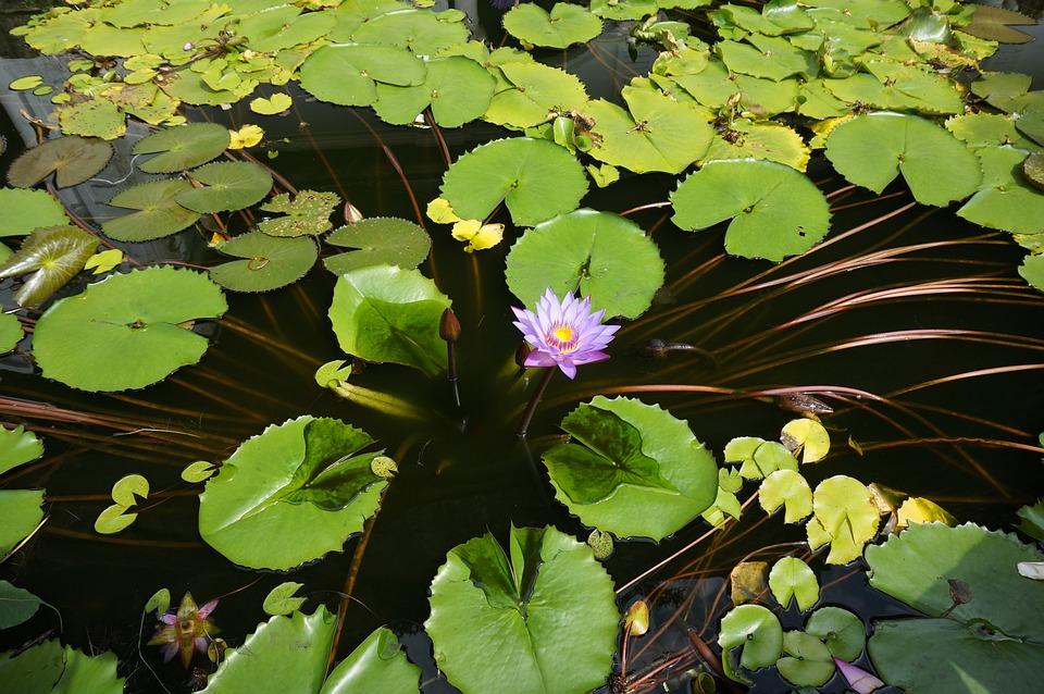 Lily Air Bunga Nasional Dari Sri Foto Gratis Di Pixabay