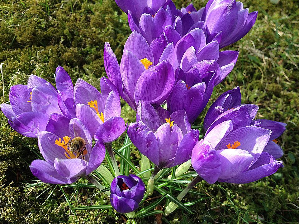Early spring crocus purple free photo on pixabay early spring crocus purple moss flowers mightylinksfo