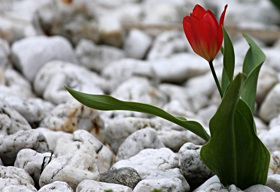 Red Stones For Garden Tulip stones garden free photo on pixabay tulip stones garden pebble red nature steinig workwithnaturefo