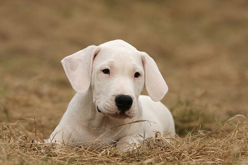 Dogo Argentino, Dogo, Dog, Animal