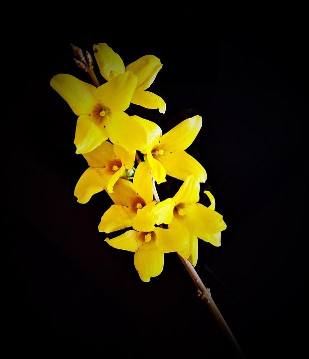 Fiori Giallo Oro.Fiore Forsizia Fiori Giallo Foto Gratis Su Pixabay