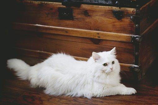 Katze, Weiße Katze, Weiß, Haustier