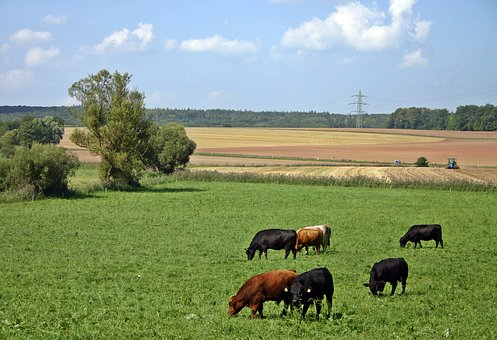 Cattle, Cow, Pasture, Agriculture