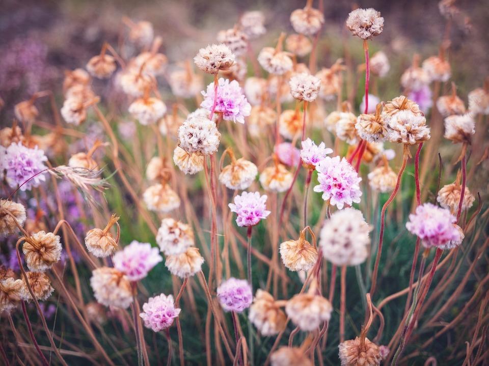 Flowers, Bloom, Meadow, Iceland, Pink, Beautiful