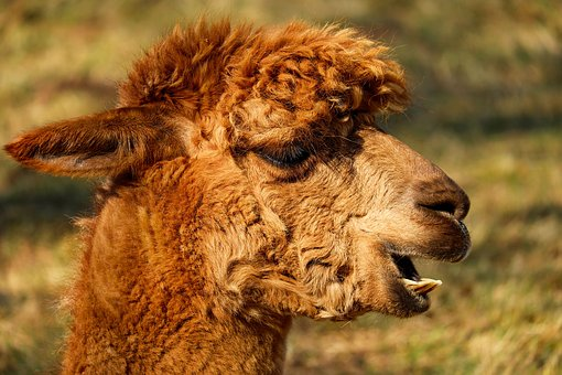 Alpaca, Animal, Creature, Fur, Red Brown