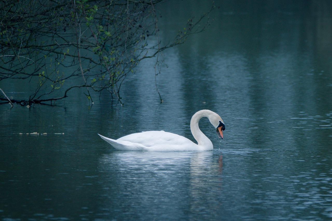 Вы видели лебедей они плавают в пруду какие красивые птицы