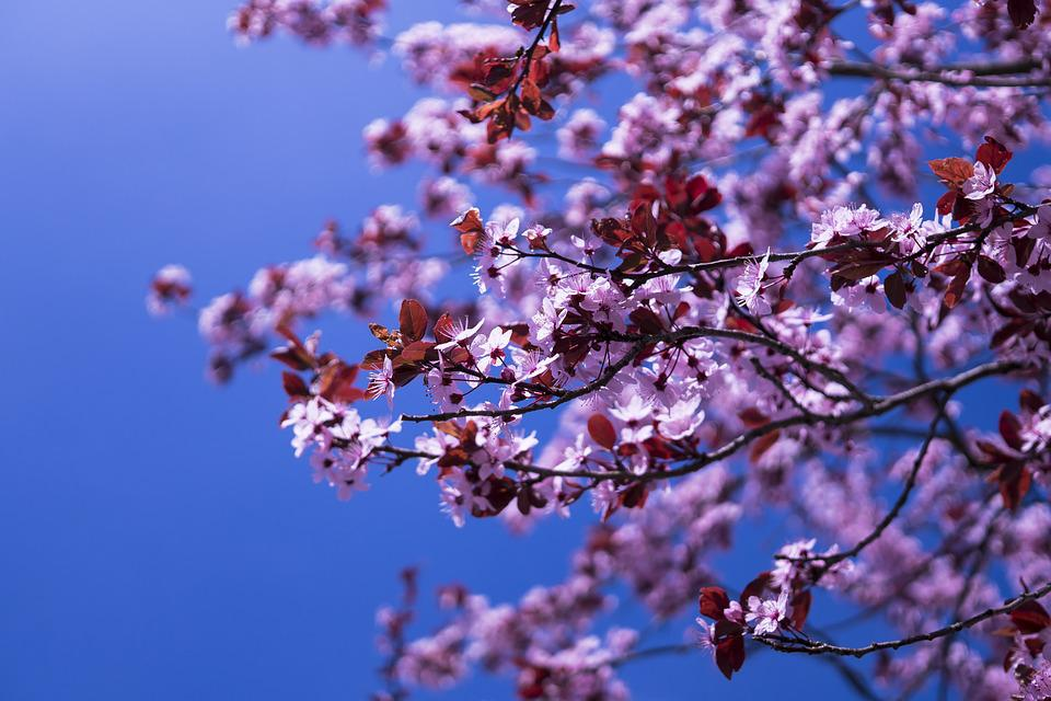 japanese-cherry-2215743_960_720.jpg