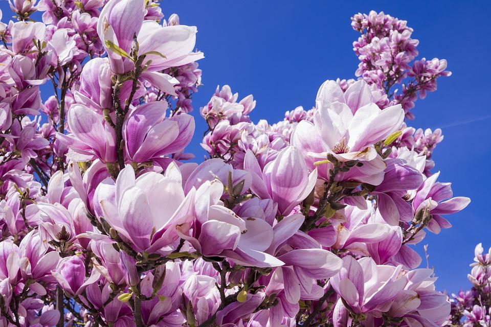 Magnolia Fleurs Rose Fleur De Photo Gratuite Sur Pixabay