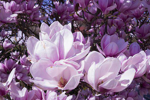 magnolia-2215761__340