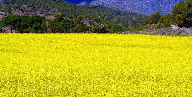 Rape, Plantation, Field, Agriculture