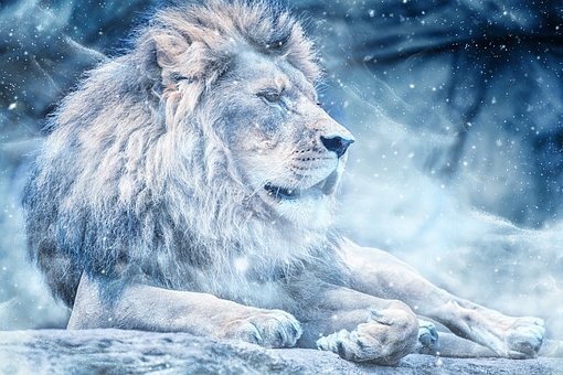 Lion Snow Lying Down Art Animal Nature Scr