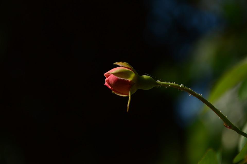 Rose Bud Flower Free Photo On Pixabay