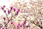 magnolia, oddziałów, kwiat