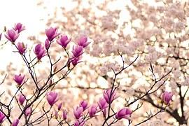 Magnolia, Branches, Blossom, Spring