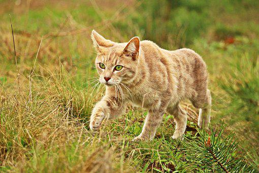 Cat, Kitten, Tiger Cat, Grass, Pet