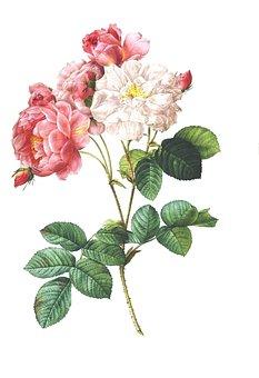 Rose Vintage Flower Floral Antique Bo