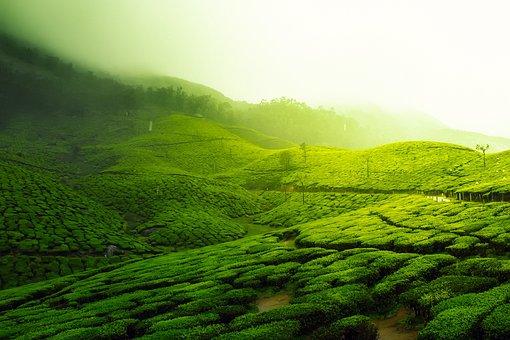 Tea Plantation, Landscape, Scenic