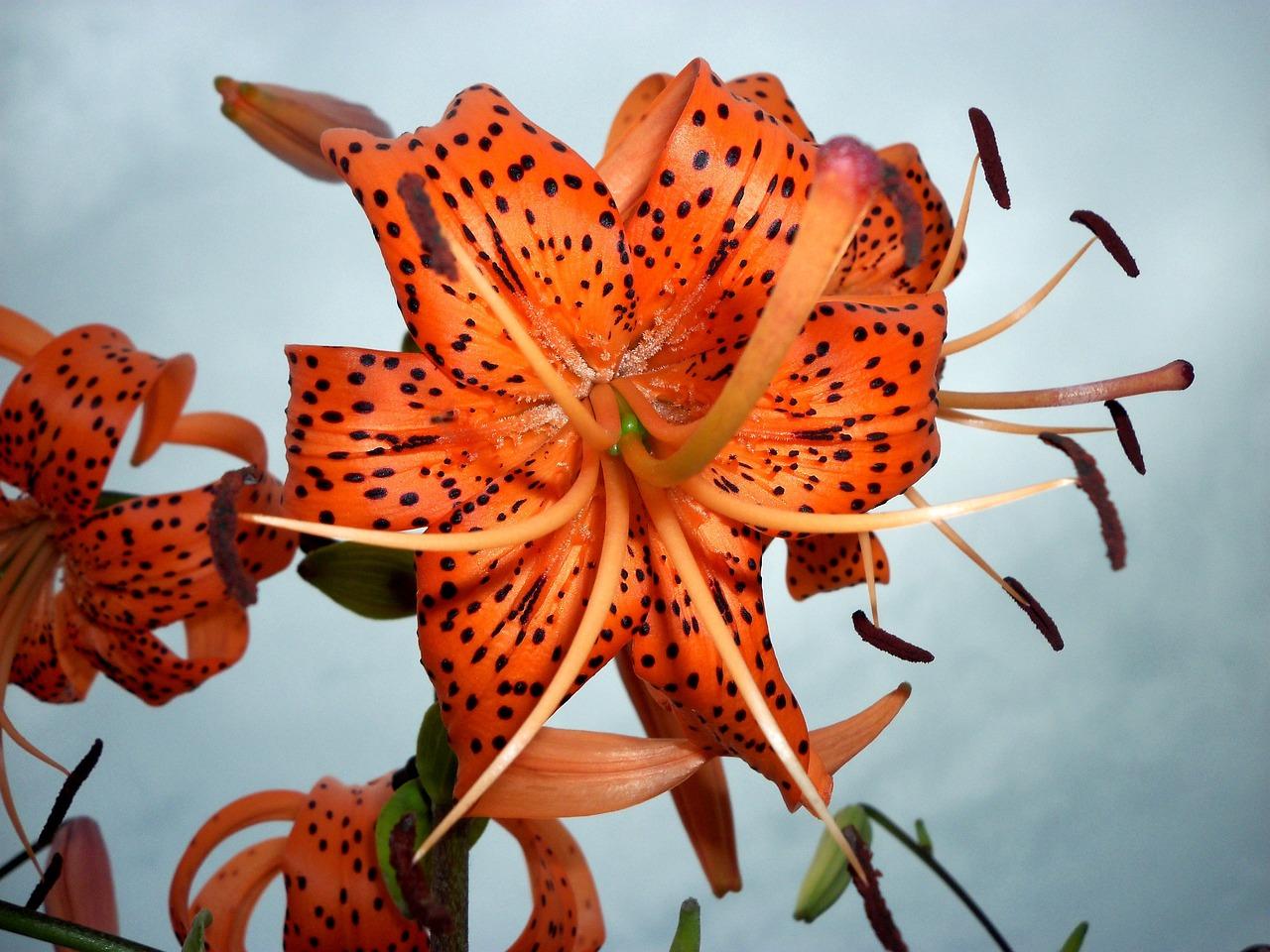 Цветы лилии тигровые
