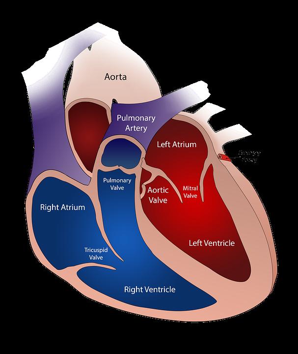 Internal anatomy of heart