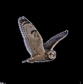 Unduh 74+  Gambar Burung Hantu Polos HD Paling Keren Free