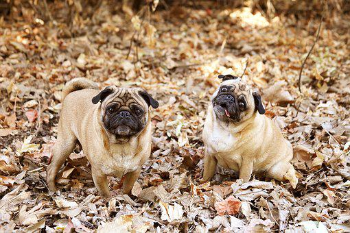 Pug, Dog, Cute, Adorable, Canine