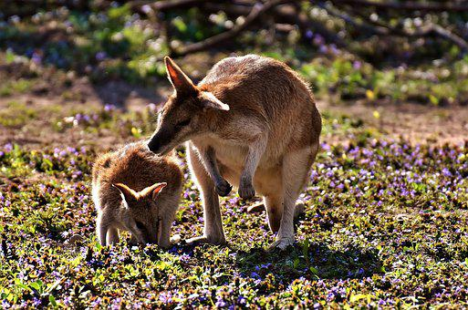Kangaroo, Young Animal, Mother