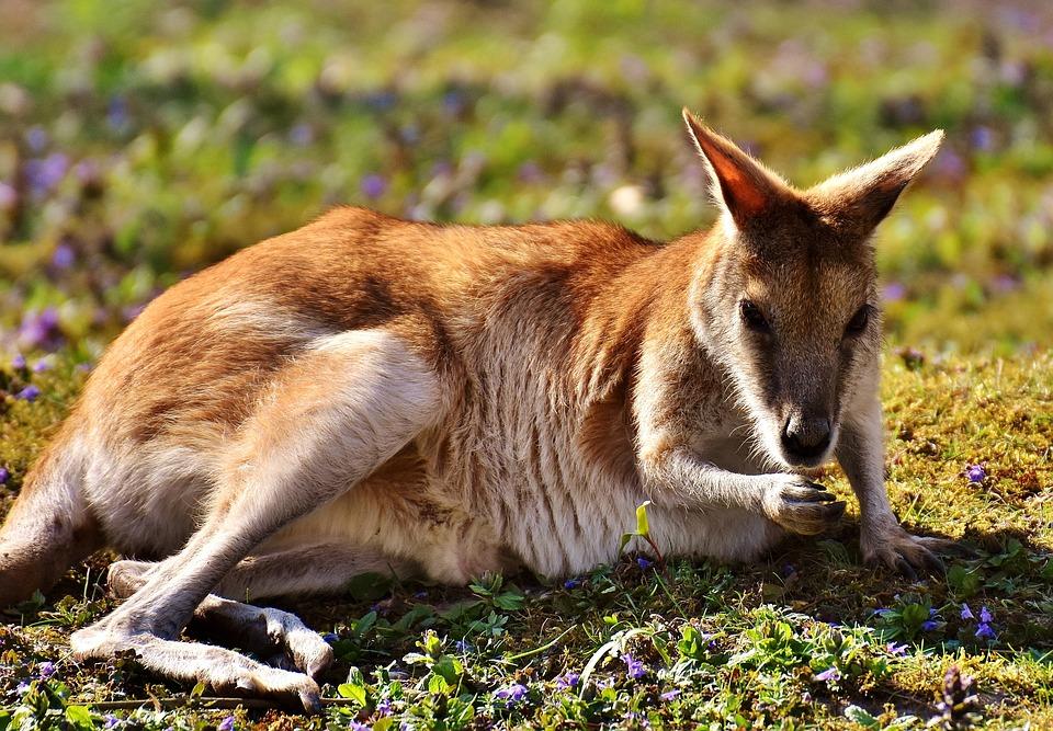 один момент кенгуру фото животного питание многих