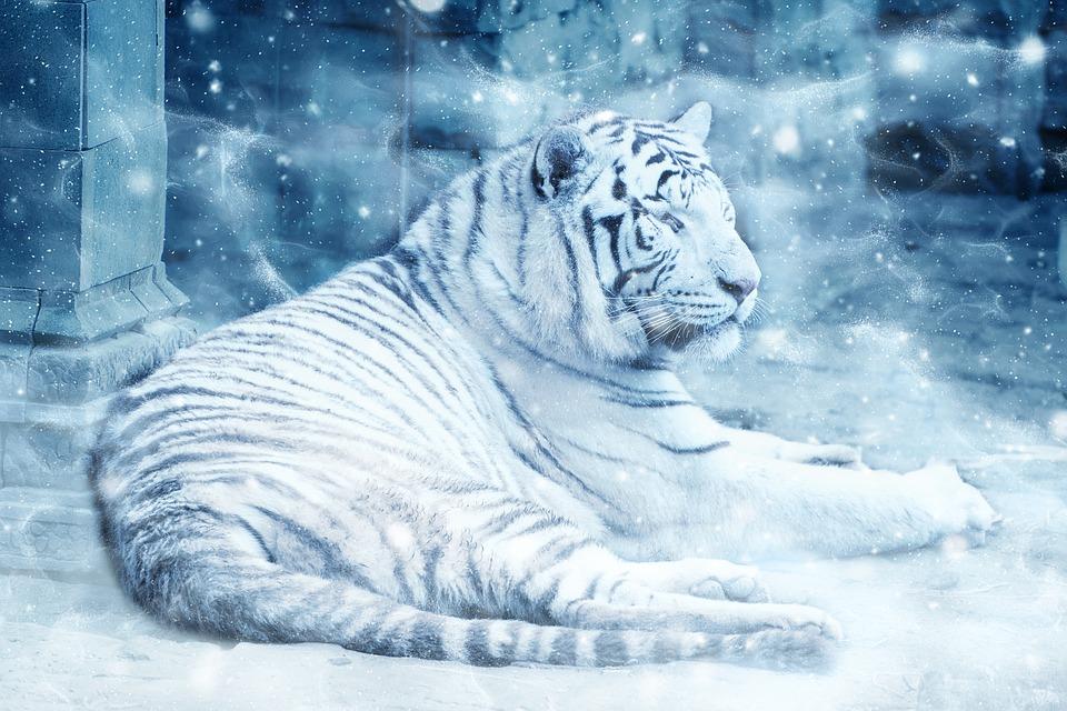 Tiger Snow Lying Down Free Image On Pixabay