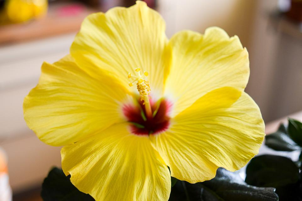 free photo hibiscus, flower, plant, exotic  free image on, Beautiful flower