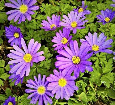 イソギンチャクバルカン, アネモネブランダ, 美しいアネモネ, 花