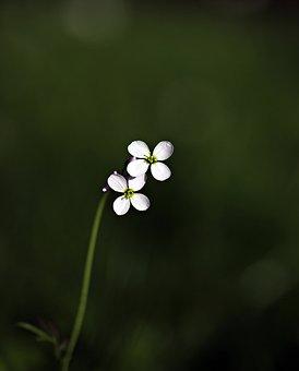 Дикий Цветок, Заостренный Цветок, Цветок