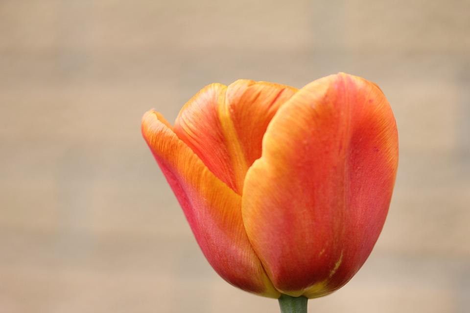 Tulip Orange Flower Sunny Plant Spring In