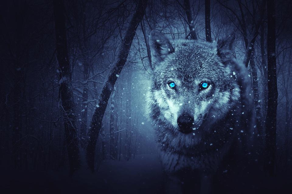 Loup, Forest, Sombre, Arrière Plan, Mystique, La Neige