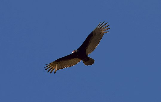 Turkey Vulture, Bird, Scavenger, Vulture