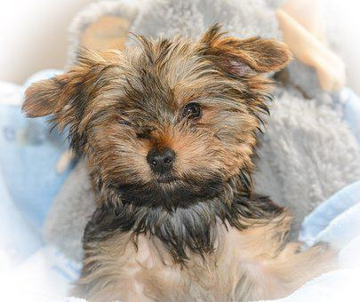 Yorkie, Cute, Puppy Love, Little