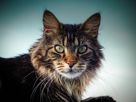 Maine Coon Cat, Cat, Eyes, Nose, View