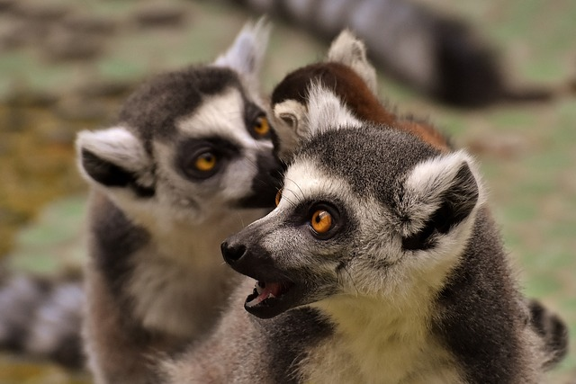 Lemur Family Cute 183 Free Photo On Pixabay