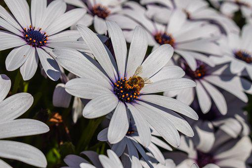 African Daisy, Bee, Nature, Flower
