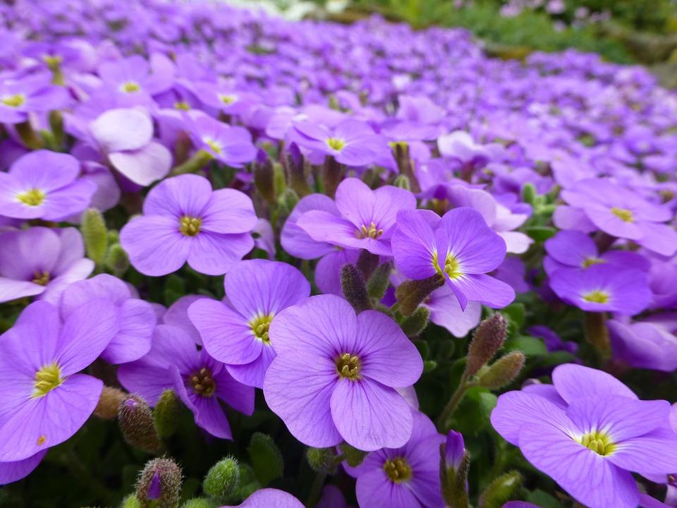 Purple flowers alpine free photo on pixabay purple flowers alpine spring purple flower nature mightylinksfo